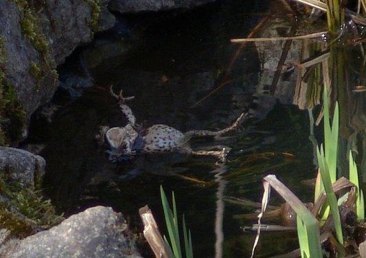 femelle crapaud noyée