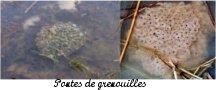 Pontes de grenouilles