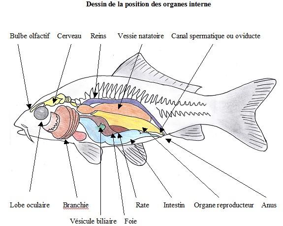 L 39 anatomie de la carpe ko partie 3 for L alimentation du poisson rouge