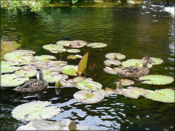 Un bassin aquatique et pourquoi pas des canards - Avoir des poules dans son jardin ...