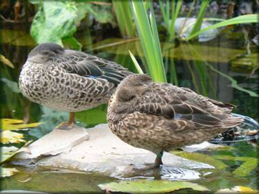 Canards d'ornement