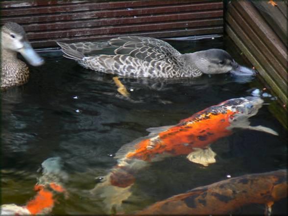 Un bassin aquatique et pourquoi pas des canards - Bassin canard d ornement pau ...