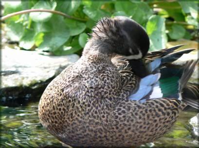 Un bassin aquatique et pourquoi pas des canards - Filtre bassin canard montpellier ...