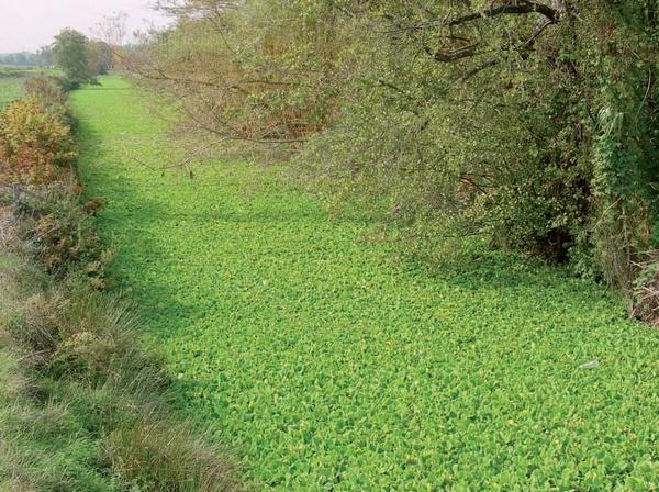 plante aquatique invasive france
