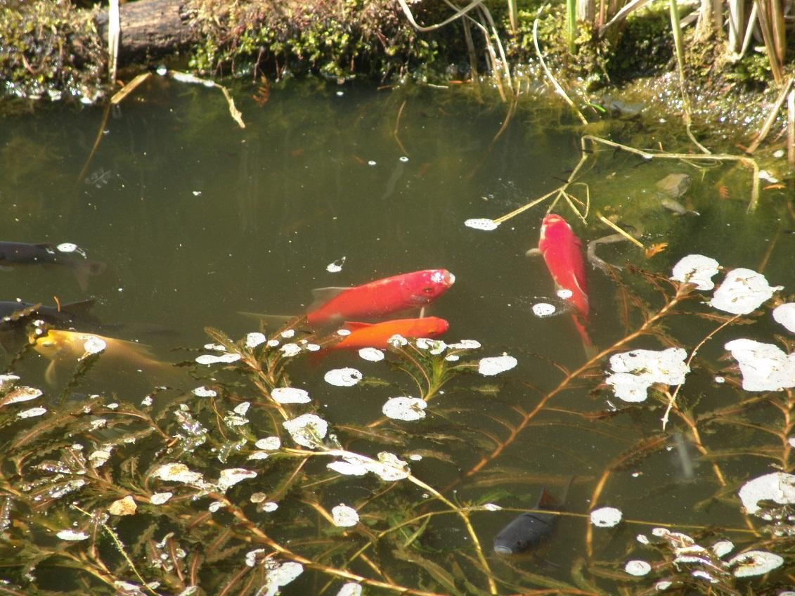 L 39 oxyg ne au bassin for Bassin a poisson eau trouble