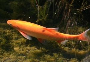Bien choisir les poissons pour un bassin extérieur