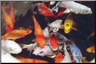 Les poissons d 39 ornement pour bassins de jardin for Nettoyage bassin poisson rouge