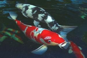 Les poissons d 39 ornement pour bassins de jardin for Carpe koi rare