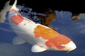 Les poissons d 39 ornement pour bassins de jardin for Couleur carpe koi