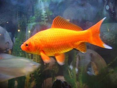 Les poissons d 39 ornement pour bassins de jardin for Poisson rouge reste fond aquarium