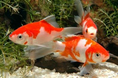 Les poissons d 39 ornement pour bassins de jardin for Poisson comete bassin