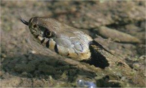 Les Serpents Du Bassin