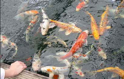 Achat et acclimatation de poissons for Achat carpe koi occasion