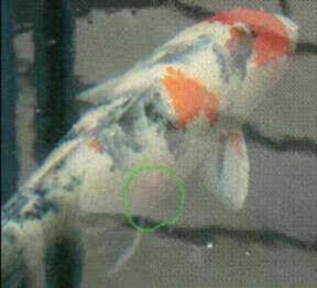 Achat et acclimatation de poissons for Achat poisson rouge lyon