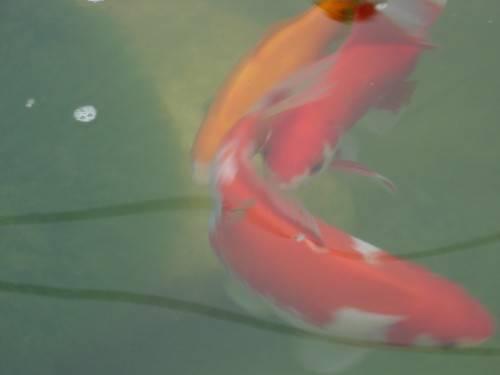 Le frai des poissons rouges for Nourriture poisson rouge pour une semaine