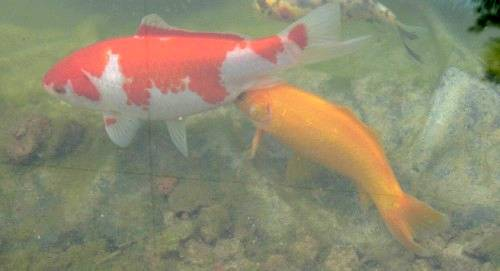 Le frai des poissons rouges for Koi qui se gratte