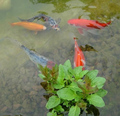Le frai des poissons rouges for Bassin pour poisson rouge